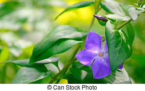 Stock Photo of Purple Vinca Major Flower with Varigated Foliage.