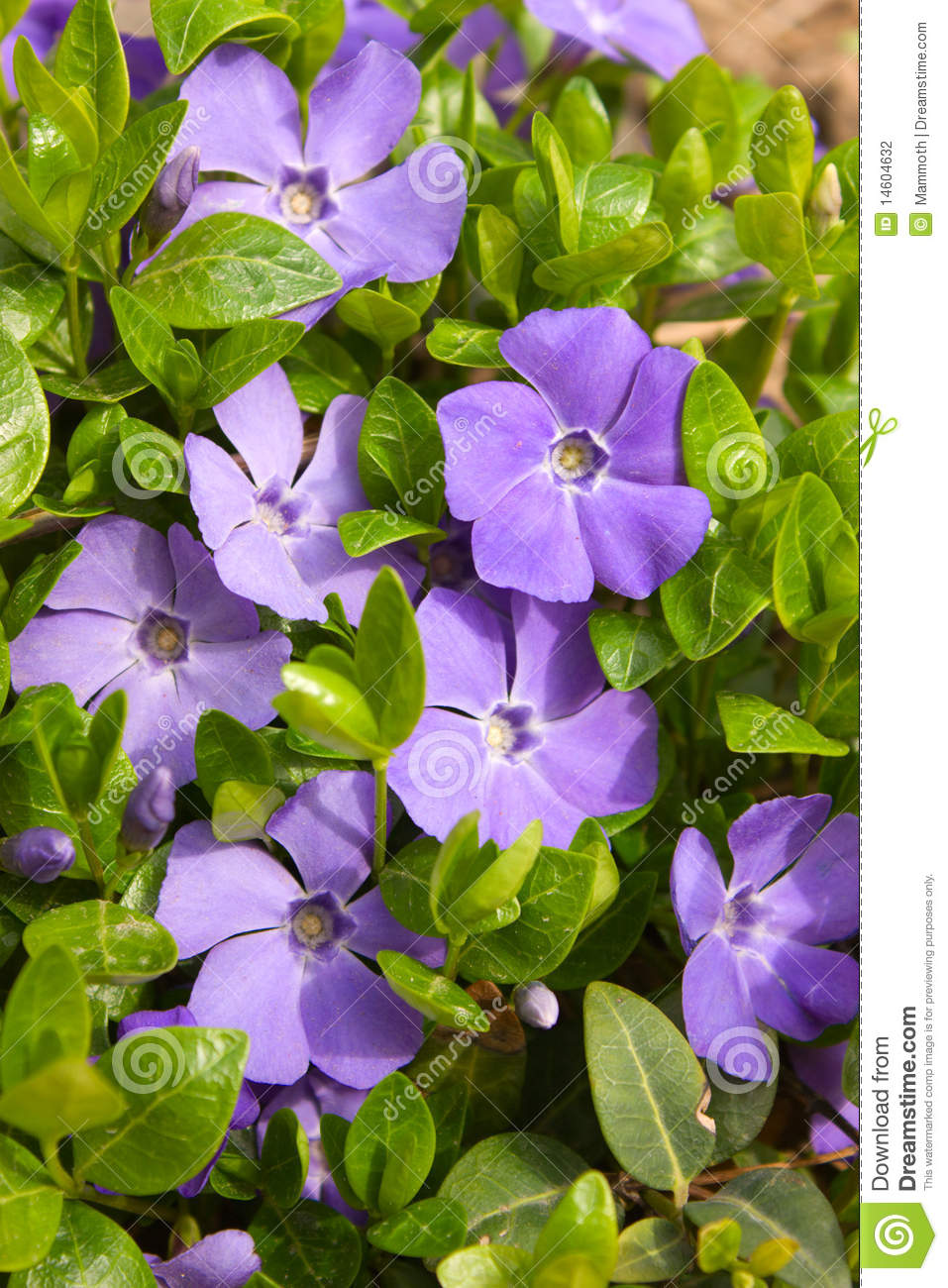 Violet Flowers With Green Leaves (Vinca Major) Stock Photography.
