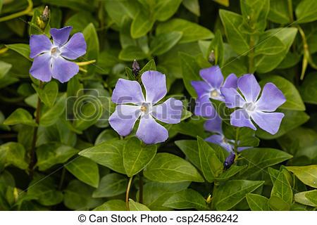 Stock Photo of Vinca major flowers csp24586242.