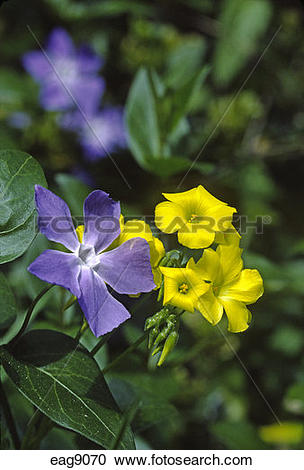 Stock Photography of PERIWINKLE (Vinca major) and sourgrass.