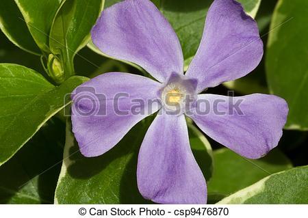 Stock Photography of Vinca major Flower.