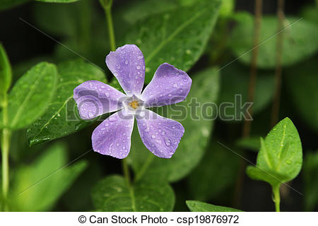Picture of Vinca Minor Purple Flower.