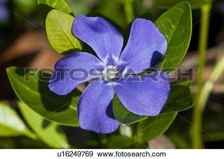 Stock Photograph of Periwinkle wildflower, (Vinca minor) u16249769.