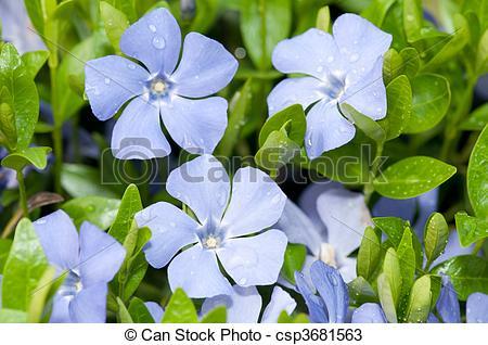 Stock Photos of Vinca minor with dew closeup flowers csp3681563.