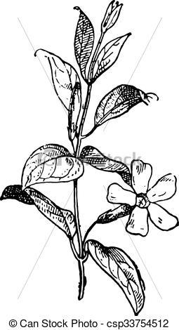 Vector Clip Art of Periwinkle or Vinca minor, vintage engraving.