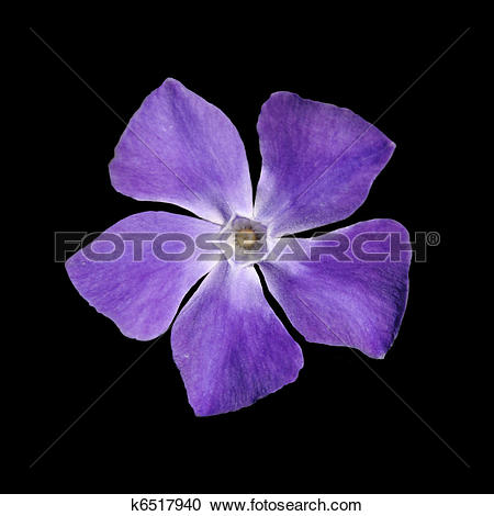 Stock Photography of Periwinkle purple flower.