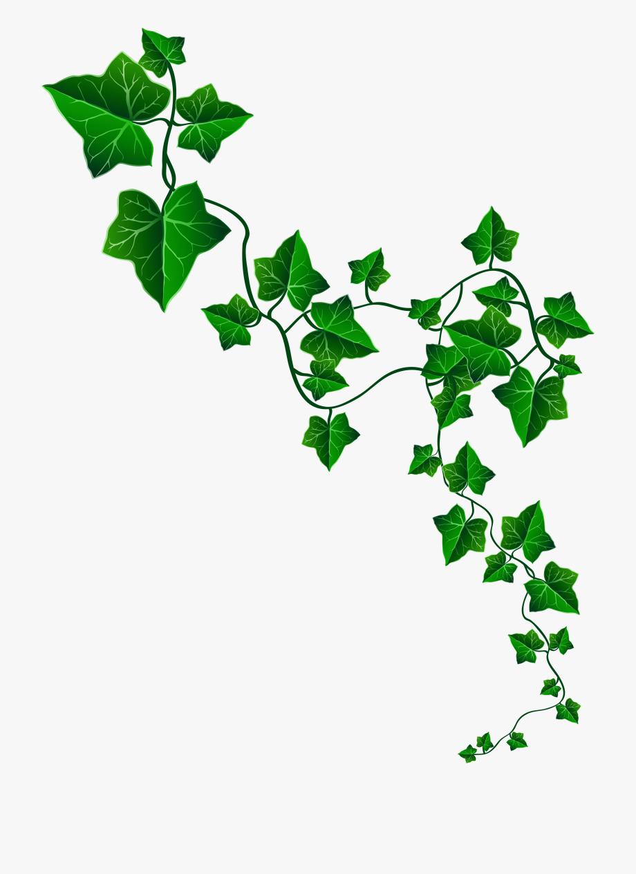 Vine Ivy Decoration Png Clipart Image.