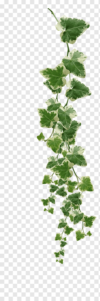 Ivy Family cutout PNG & clipart images.