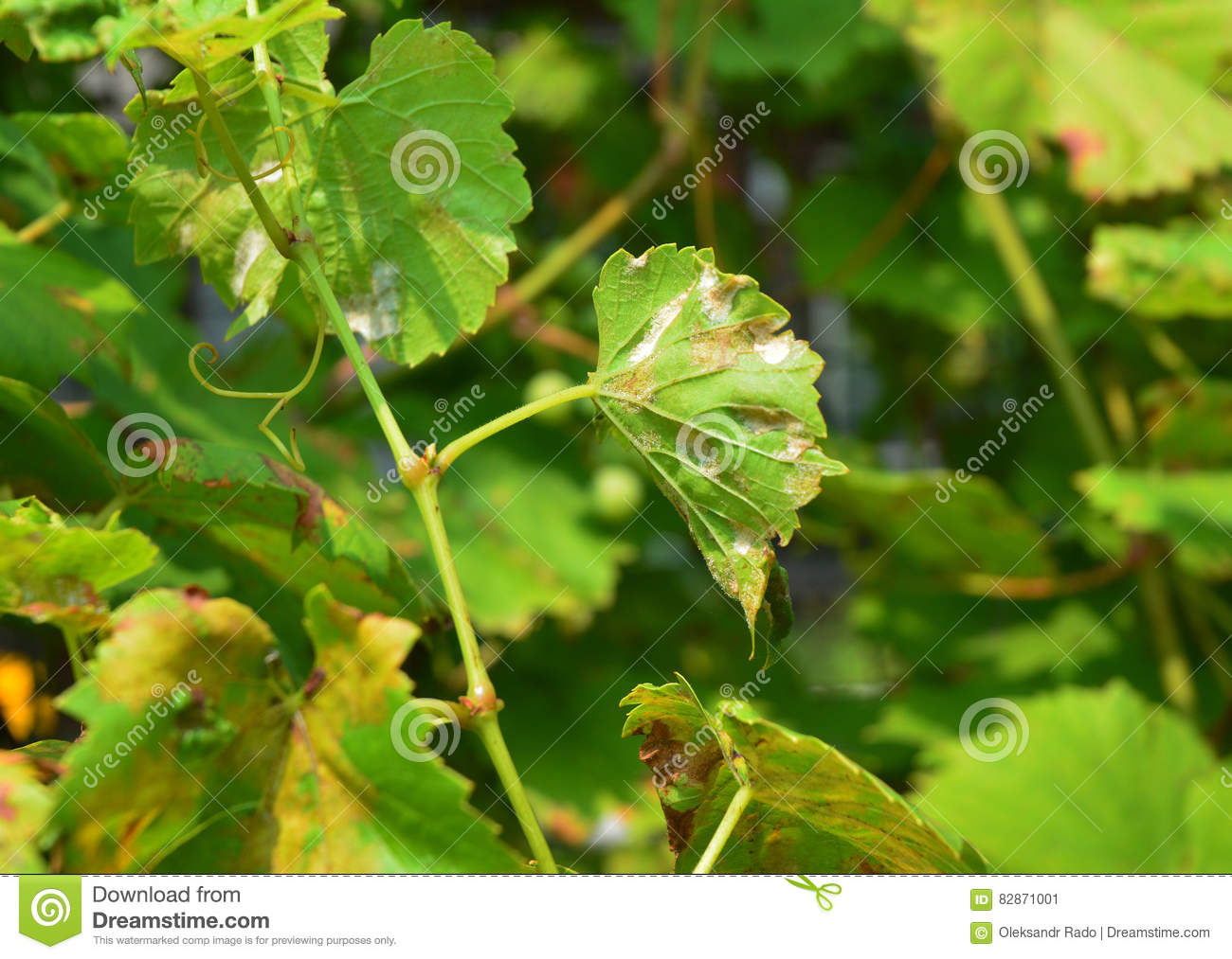 Grape Powdery Mildew. Powdery Mildew Is A Fungal Disease That.