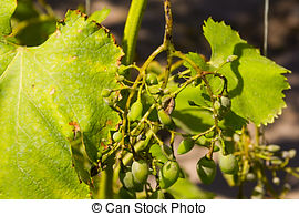 Pictures of vine grape leaf disease.