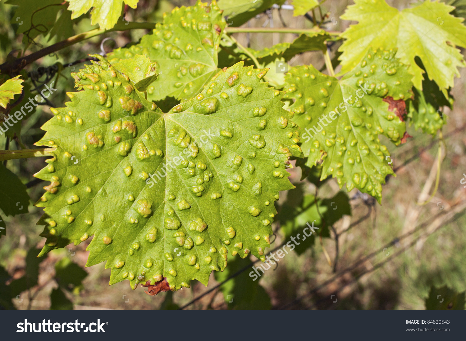 Sick Vine Leaf Green Foliage Background Stock Photo 84820543.