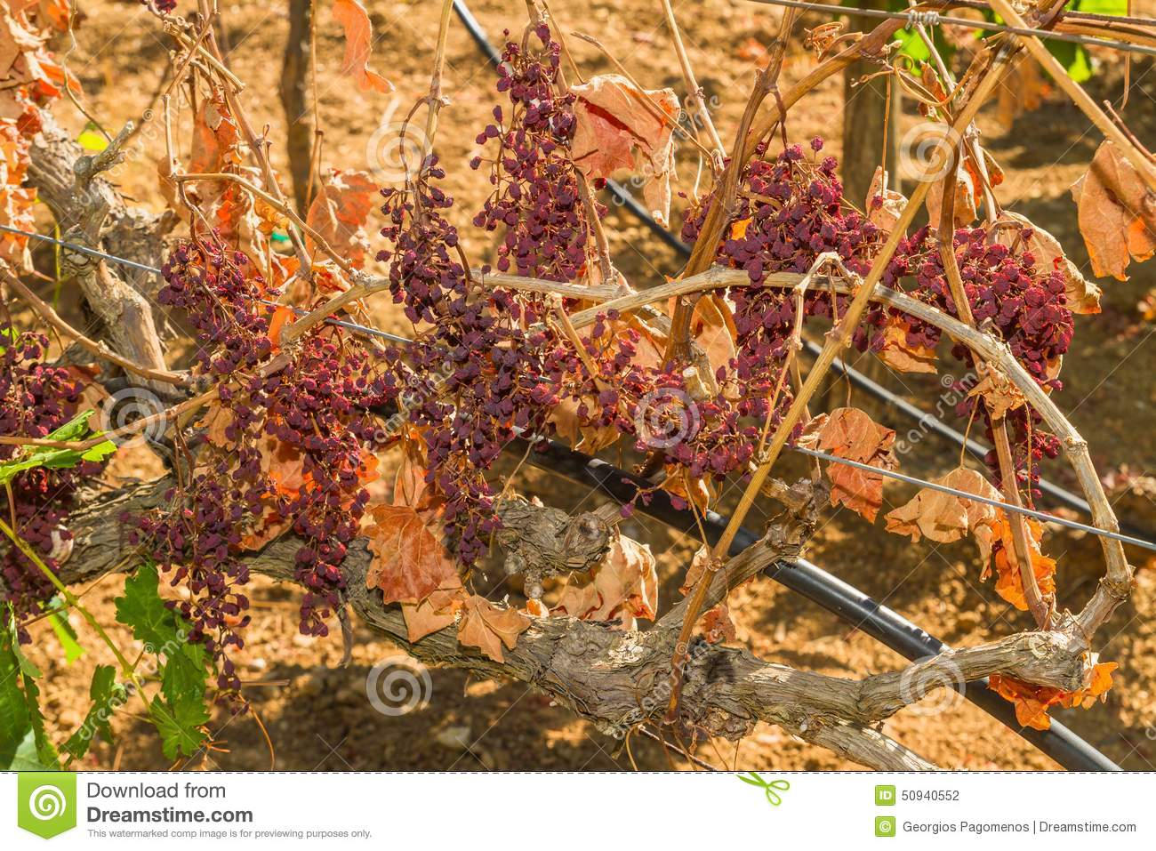 Mildew Parasite Infected Vines And Grapes Stock Photo.