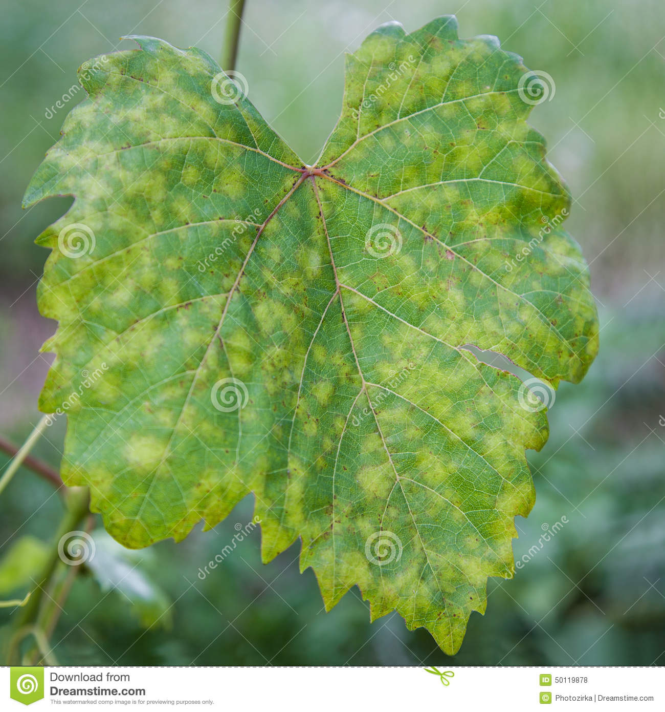 Grape Leaf Disease Stock Photo.