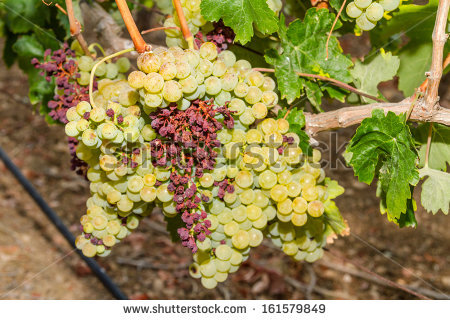 Diseases In Vineyard Stock Photos, Royalty.