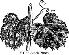 EPS Vector of Diseases of the vine, vintage engraving..