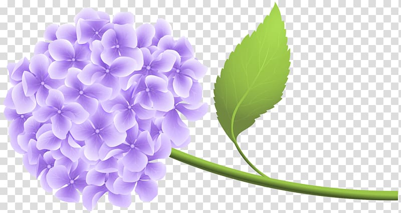 Hydrangea , Purple Hortensia transparent background PNG.