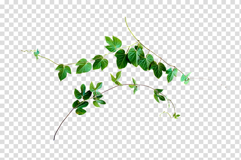 Vine Cut Out , green leaves transparent background PNG.
