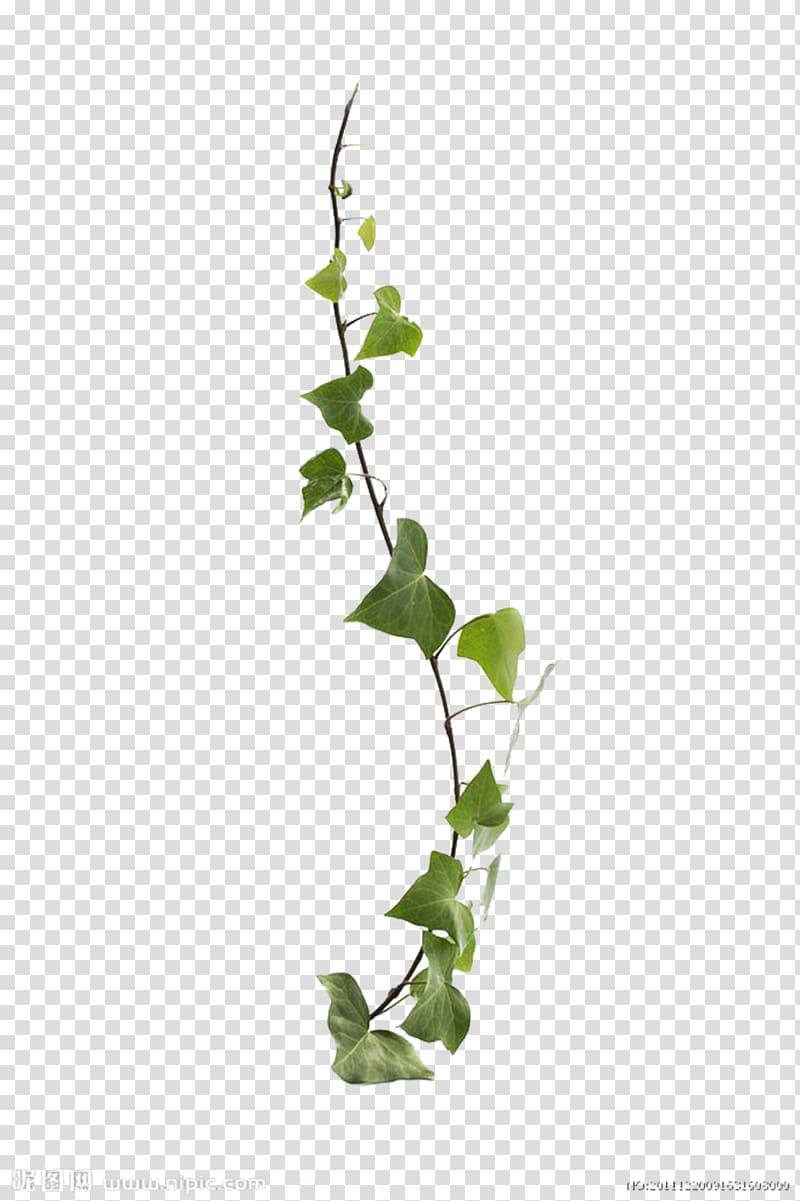 Common ivy Virginia creeper Vine Leaf Plant, Vines are.