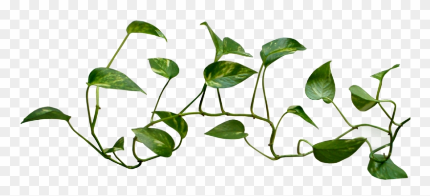 28 Collection Of Money Plant Images Clipart.