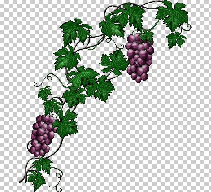 Common Grape Vine Plant PNG, Clipart, Black Grapes, Branch.