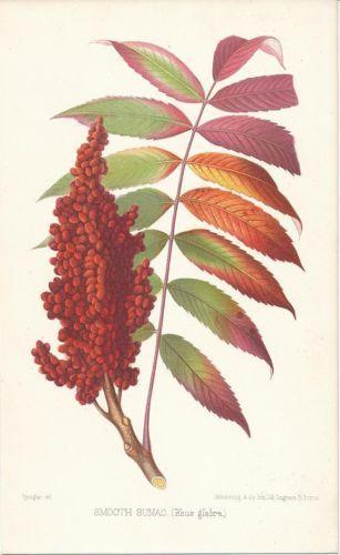 Black Birch tree leaf & seed lovely original antique 1875 color.