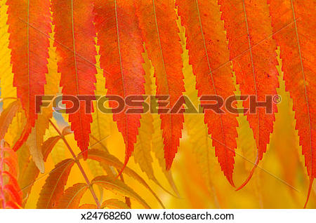 Stock Photography of Autumn leaves of Staghorn Sumac / Vinegar.