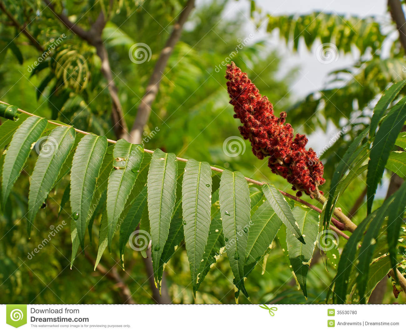 Staghorn Sumac Stock Photo.