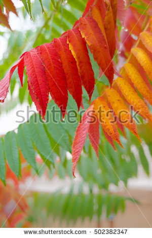 Sumac Leaf Stock Photos, Royalty.