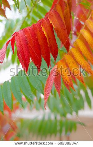 Sumac Leaf Stock Photos, Royalty.