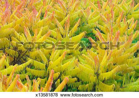Pictures of Autumn leaves of Staghorn Sumac / Vinegar Tree (Rhus.