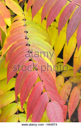 Vinegar Tree Branch Leaves Red Stock Photos & Vinegar Tree Branch.
