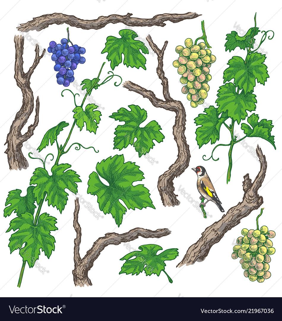 Hand drawn grape branches and vine.