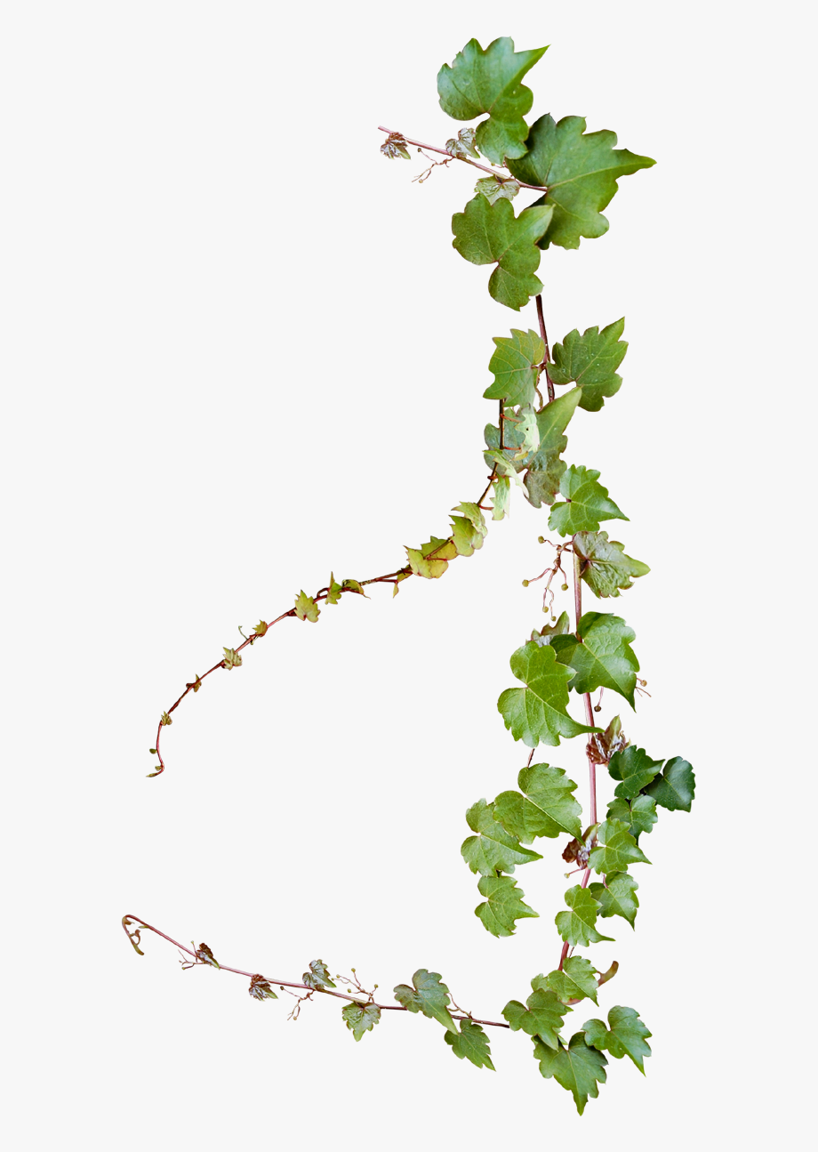 Grape Photography Vine Vines Creative Design Common.