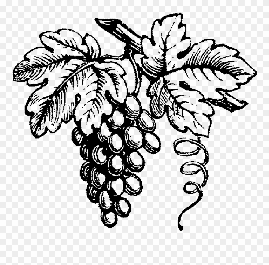 Vineyard Drawing Grape Clipart Black And White Library.