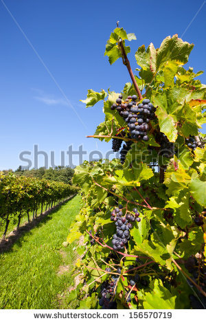 Beautiful New Zealand Vineyard Stock Photo 104000255.