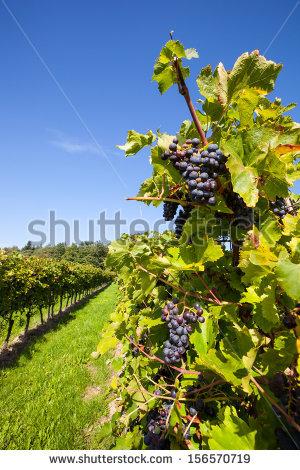 Beautiful New Zealand Vineyard Stock Photo 104000255.