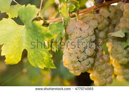 Blue Garden Grapes Stock Photos, Royalty.