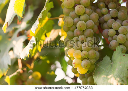 Blue Garden Grapes Stock Photos, Royalty.