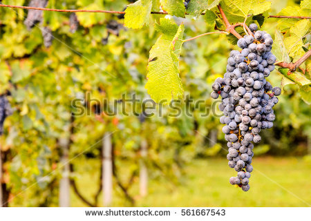 Grapes Picture Stock Photos, Royalty.