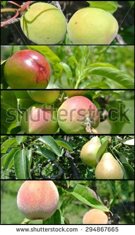 Fruit Collage Unripe Green Apples Pears Stock Photo 290194043.