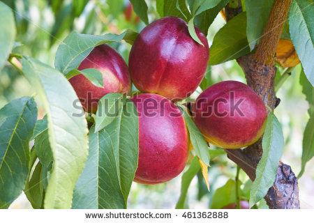 Nectarine Tree Stock Photos, Royalty.