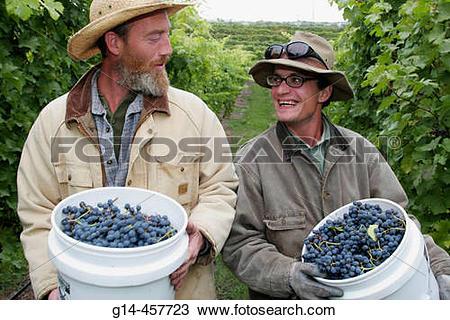Stock Photo of Black Star Farms, vineyard workers harvesting.