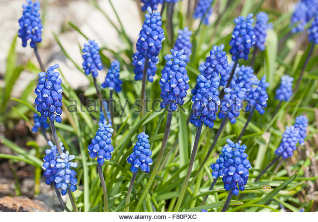 Muscari Botryoides Stock Photos & Muscari Botryoides Stock Images.