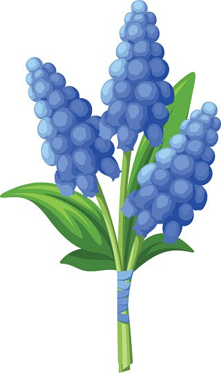 Bouquet of Blue Grape Hyacinth Vector stock vectors.