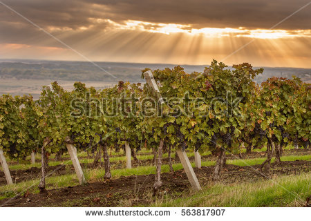 Tuscany Vineyard Stock Photos, Royalty.