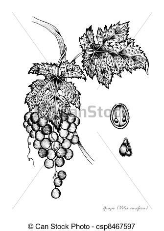 Stock Illustrations of Grape (Vitis vinifera) csp8467597.
