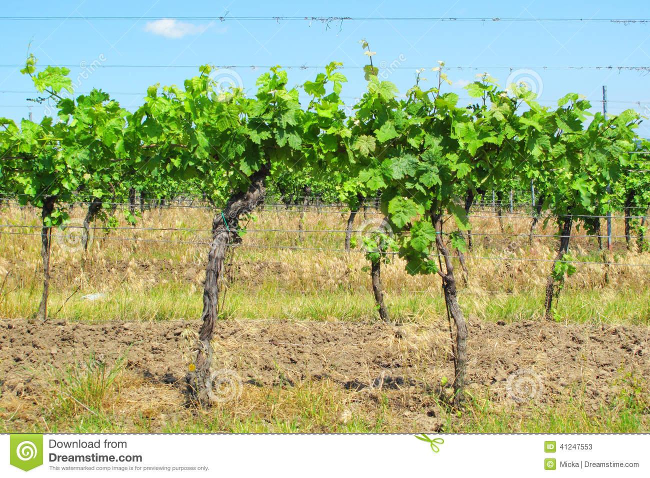 Vitis Vinifera Stock Photo.