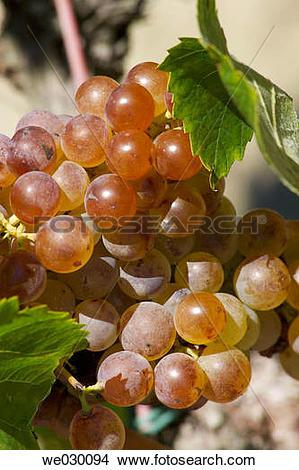Stock Photo of White grapes (Vitis vinifera, var. Xarel.lo.