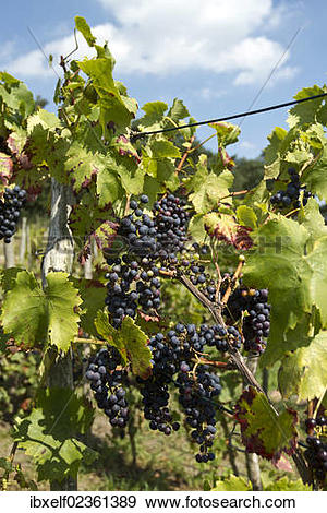 "Stock Photograph of ""Red Grapes (Vitis vinifera), vine in a."