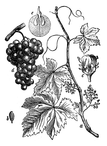 Grapes And Leaves On The Vine Clip Art, Vector Images.
